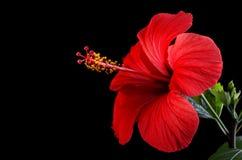 abstrakt vektor för blommahibiskusillustration arkivbild