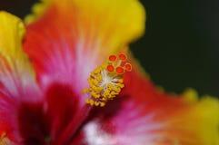 abstrakt vektor för blommahibiskusillustration Arkivbilder