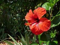 abstrakt vektor för blommahibiskusillustration royaltyfria foton