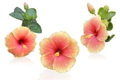 abstrakt vektor för blommahibiskusillustration Royaltyfri Fotografi