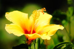 abstrakt vektor för blommahibiskusillustration Arkivfoton