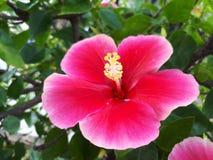 abstrakt vektor för blommahibiskusillustration Royaltyfri Foto