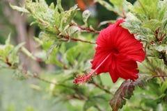 abstrakt vektor för blommahibiskusillustration blomma red Blomma Arkivfoto