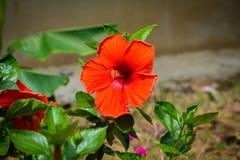abstrakt vektor för blommahibiskusillustration Grund DOF Royaltyfri Bild