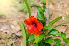 abstrakt vektor för blommahibiskusillustration Grund DOF Royaltyfri Foto