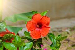 abstrakt vektor för blommahibiskusillustration Grund DOF Fotografering för Bildbyråer
