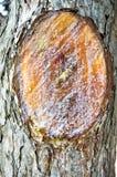 Abstrakt wood texturskäll, cypressträd Arkivfoton