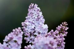 Abstrakt zamazujący ciemny tło z bokeh i kwitnąca gałąź w wiośnie bzu lub syringa zdjęcie stock