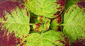 Abstrakt Zielony Brown Opuszcza natury tło Scutellarioides - Coleus Blumei, Plectranthus - zdjęcie stock