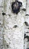 Abstrakta bakgrundsbjörkar Royaltyfri Bild