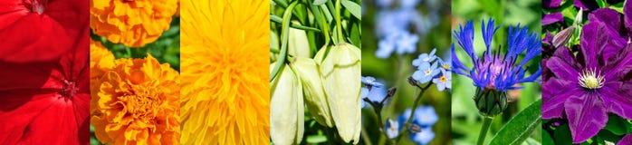 Abstrakta blom- sju färger av regnbågen, panorama- collage Fotografering för Bildbyråer