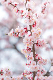 Abstrakta Cherry Blossom av förälskelse Arkivbilder