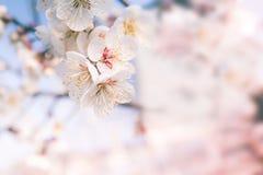 Abstrakta Cherry Blossom, mjuk fokus, bakgrund Royaltyfri Fotografi