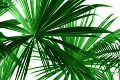 Abstrakta gröna palmblad Arkivbild