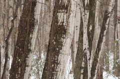 Abstrakta lönnträdstammar i vintertiden Arkivfoton