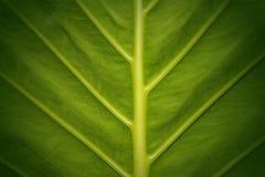 Abstrakta liścia zielona tekstura dla tła Fotografia Stock