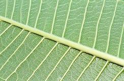 Abstrakta liścia zielona tekstura dla tła Zdjęcie Stock