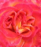 Abstrakta Różany tło z wodnymi kropelkami Zdjęcie Stock