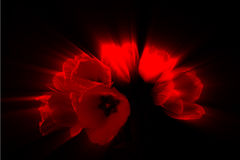 Abstrakta röda abstrakta röda tulpan Royaltyfri Foto