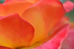 Abstrakta rosa färger och guling Rose Macro Royaltyfria Foton
