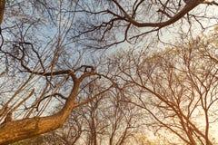 Abstrakta stora träd och solnedgånghimmel Royaltyfria Bilder