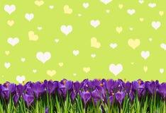 Abstrakta tło z krokusami dla powitanie Szczęśliwej walentynki Zdjęcie Royalty Free