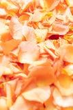 Abstrakta zamknięty up widok pomarańcze róży płatki obraz royalty free