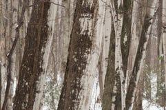 Abstrakte Ahornbaumstämme in der Winterzeit Stockfotos