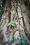 Abstrakte alte Banyanbaumwurzeln Lizenzfreies Stockfoto