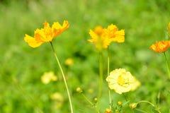 Abstrakte gelbe Blumen herein draußen verwischt Lizenzfreie Stockfotos