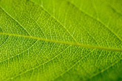Abstrakte grüne Blattbeschaffenheit Lizenzfreies Stockfoto