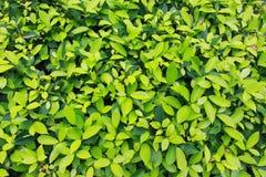 Abstrakte grüne Blattbeschaffenheit Stockfoto