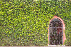 Abstrakte grüne Wand der Efeu- oder Wandbetriebs- und -metalltür Lizenzfreies Stockfoto