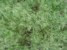 Abstrakte grasartige hellgrüne Beschaffenheit von Wiesengras Bromus tectorum Stockfotografie