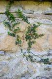 Abstrakte Hintergründe: alte Kalksteinwand überwältigt mit Efeu lizenzfreies stockfoto