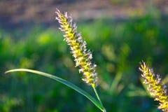 Abstrakte Hintergrundlandschaftsgrünes Gras mit Sonnenlicht und Blume lizenzfreie stockfotos