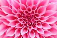 Abstrakte Nahaufnahme (Makro) der rosa Dahlienblume mit den hübschen Blumenblättern Stockfotografie