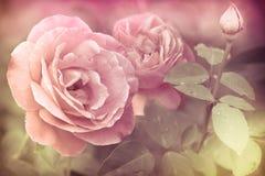 Abstrakte romantische rosa Rosenblumen lizenzfreies stockbild