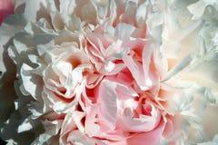 Abstrakte rosafarbene Pfingstroseblume Stockbild