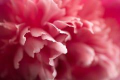 Abstrakte rosafarbene Pfingstroseblume Lizenzfreies Stockfoto