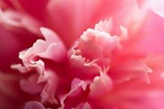 Abstrakte rosafarbene Pfingstroseblume Lizenzfreie Stockbilder