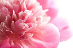 Abstrakte rosafarbene Pfingstroseblume getrennt Stockbilder