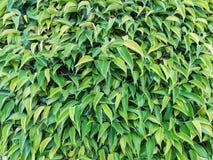 Abstrakte schöne Beschaffenheit des grünen Blattes auf Naturhintergrund, Le Stockbild
