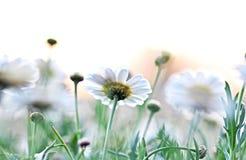Abstrakte undeutliche Hintergrundfarbweiße frische weiche Gänseblümchen stockfotos