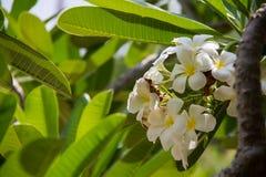 Abstrakte Weichzeichnung der Frangipaniblume Lizenzfreie Stockbilder