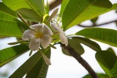 Abstrakte Weichzeichnung der Frangipaniblume, Plumeriaflora Stockfotografie