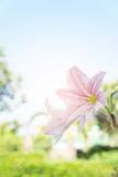 Abstrakter Blumenhintergrund, blühen neue Farbe am Morgen Lizenzfreies Stockfoto
