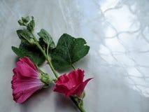 Abstrakter Blumenhintergrund einer einzelnen rosa Malvenblume in einer Ecke auf einer grauen Oberfläche Lizenzfreies Stockbild