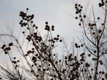 Abstrakter brauner Baum im Winter mit vielen Niederlassungen Lizenzfreie Stockfotos
