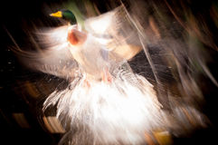 Abstrakter Flug der Ente stockfoto
